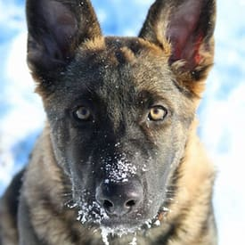 Dogs face in snow