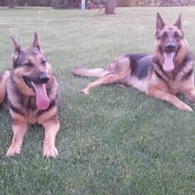 two German Sheppard resting on park grass