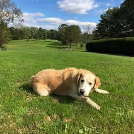 Golden Retriever laying in grassy field