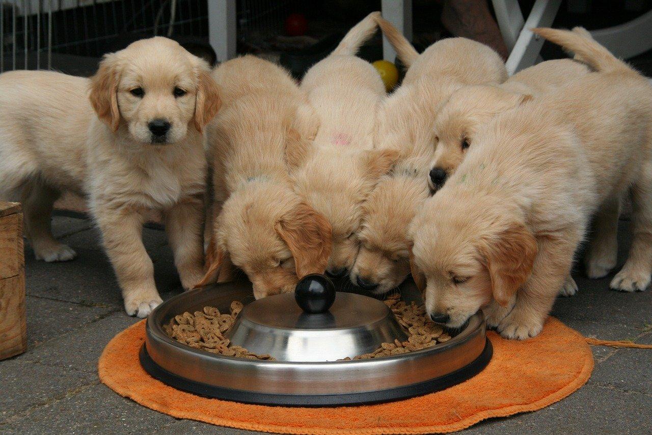 golden retriever puppy wont eat